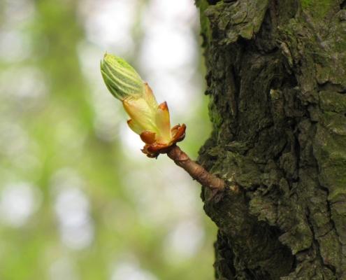Caratteristiche botaniche del Castagno